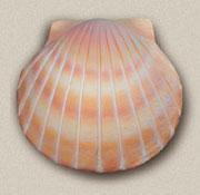 Shell Deep Water Bio-Urn in Sand